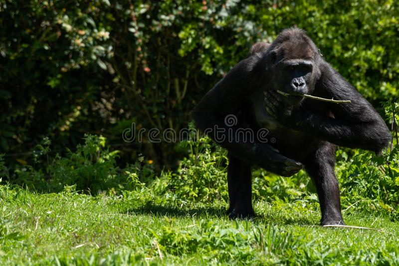 An adult Western Lowland Gorilla at Bristol Zoo, UK. stock photos