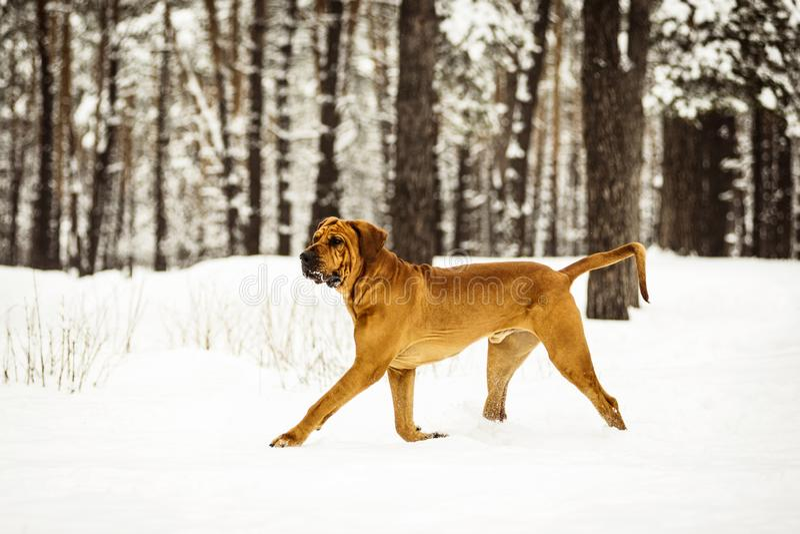 Adult Fila Brasileiro having fun in snow stock image