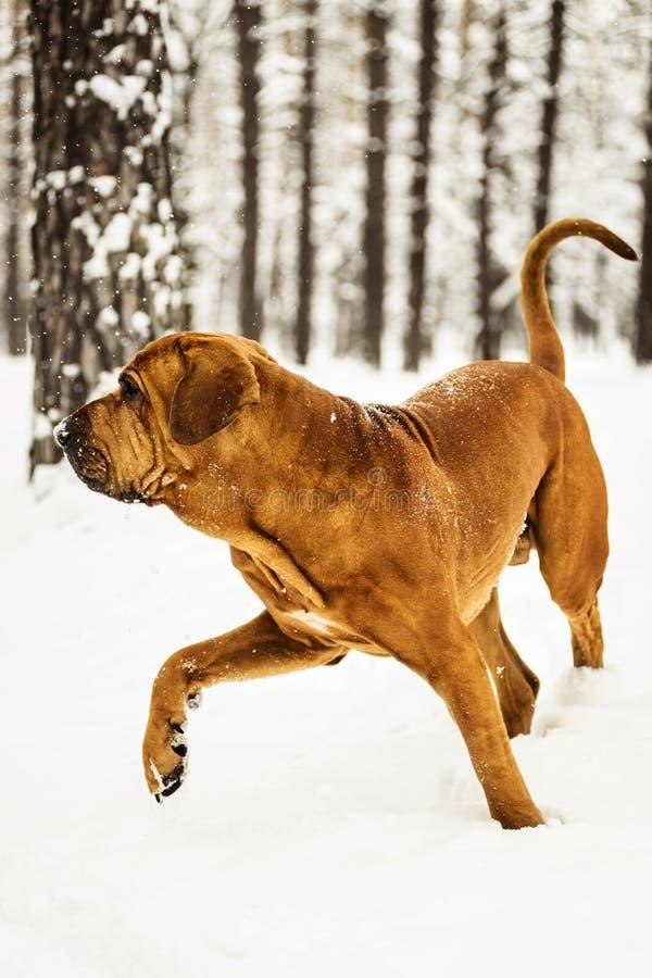 Adult Fila Brasileiro having fun in snow. Adult Fila Brasileiro Brazilian Mastiff having fun in snow, winter scene royalty free stock photos