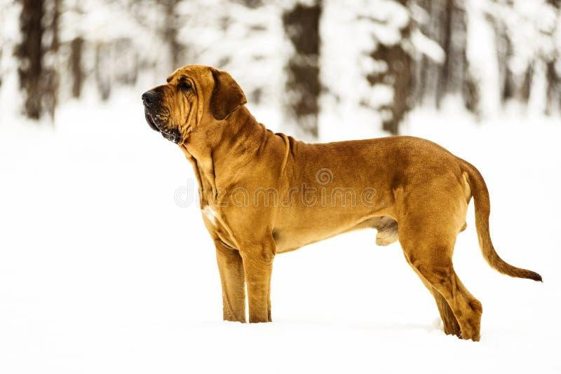 Adult Fila Brasileiro Brazilian Mastiff winter portrait royalty free stock photos