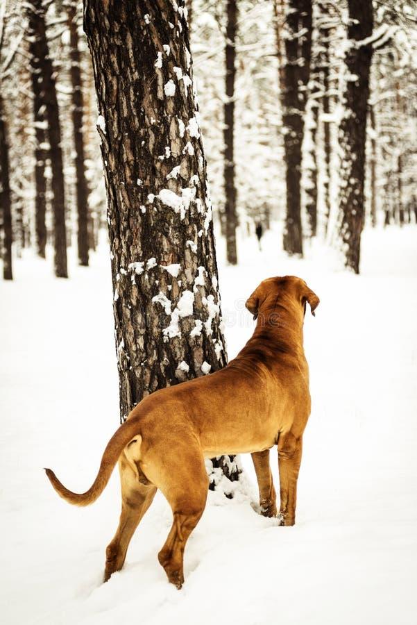 Adult Fila Brasileiro Brazilian Mastiff winter portrait. Adult Fila Brasileiro Brazilian Mastiff watching somethig, back view, winter scene stock photo