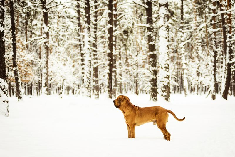 Adult Fila Brasileiro Brazilian Mastiff winter portrait stock photos