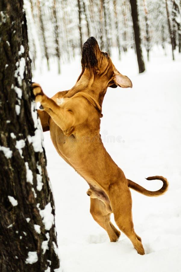 Adult Fila Brasileiro having fun in snow royalty free stock image