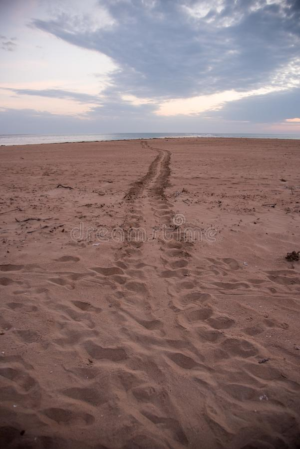 Adult Flatback Sea Turtle Tracks To the Sea royalty free stock photography