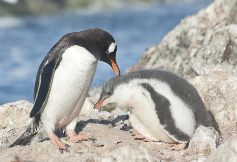 Adult gentoo penguin and chick.