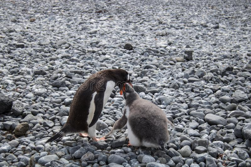 Gentoo penguin and chick in Antarctica royalty free stock image