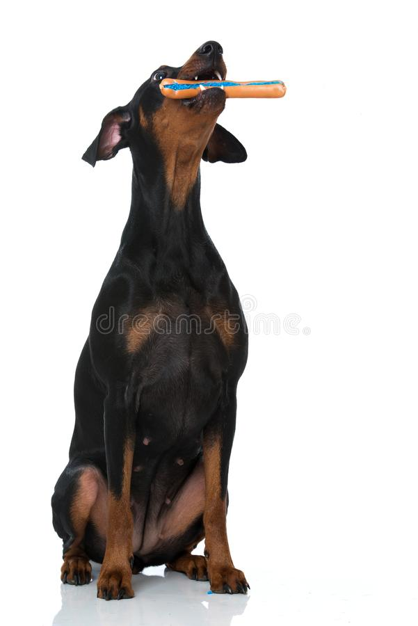 Pinscher dog with has poisoned sausage on white background. Adult german pinscher dog sitting on white background and has poisoned sausage in its mouth stock image