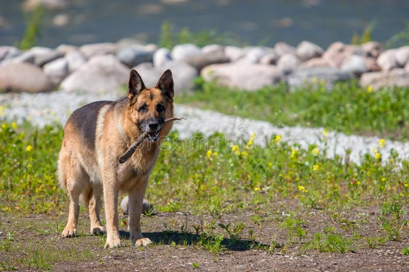 An adult German shepherd stands with a stick in his mouth against the background of flowers of stones and the sea. stock images