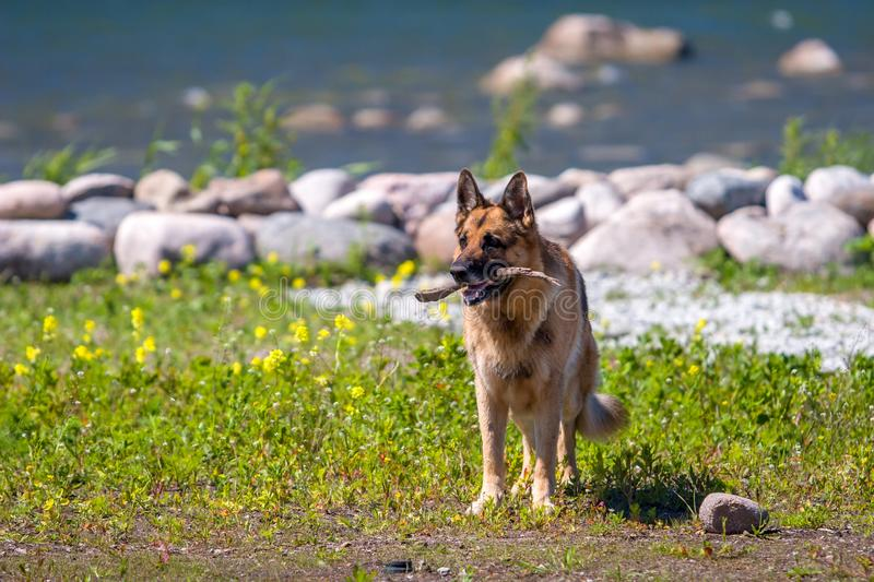 An adult German shepherd stands with a stick in his mouth against the background of flowers of stones and the sea. royalty free stock photography