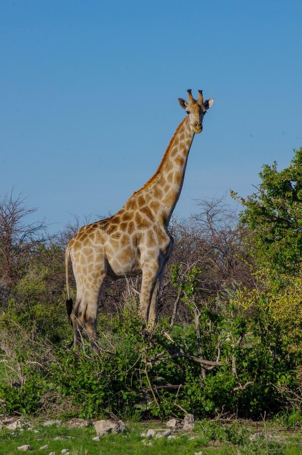 An adult giraffe in Etosha national park, Namibia stock images