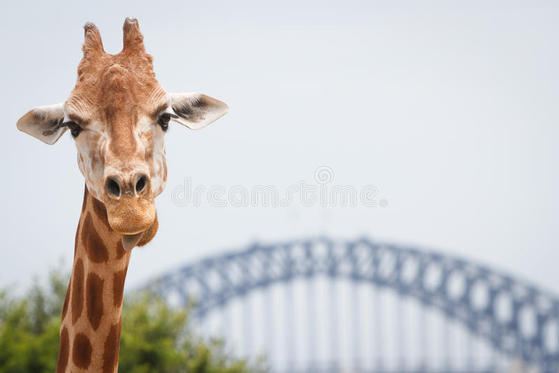 Adult giraffe at Taronga Zoo, Sydney stock photo