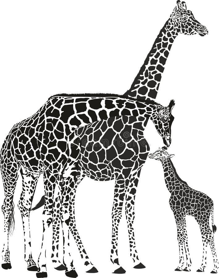Adult giraffes and baby giraffe vector illustration