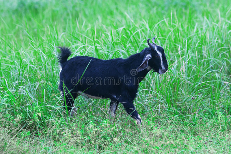 Adult goat freely walking on grass. One adult goat freely walking on grass in pasture stock image