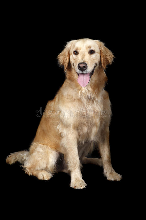 Adult golden Retriever. Against black background royalty free stock image