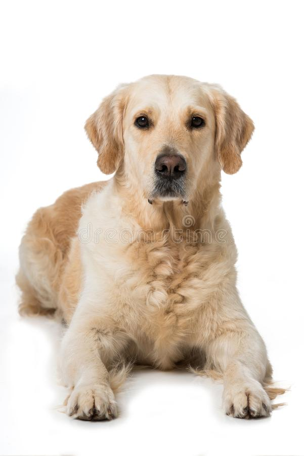 Adult Golden Retriever dog isolated on white background. Adult Golden Retriever dog lying on white background and looking to camera royalty free stock photography