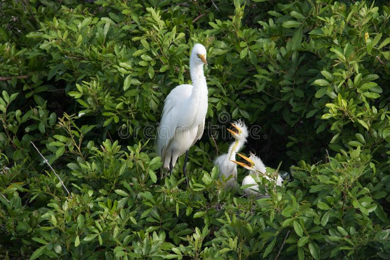 An adult Great Egret watching over her chicks stock photos