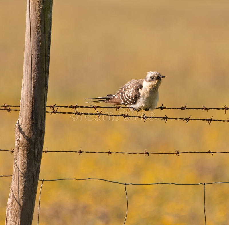 Download An Adult Great Spotted Cuckoo Stock Photo - Image: 19186790