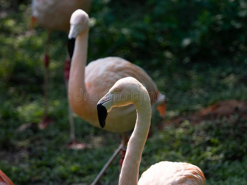 Adult Greater Flamingo (Phoenicopterus roseus) face in the zoo. Closeup adult Greater Flamingo (Phoenicopterus roseus) face in the zoo royalty free stock images