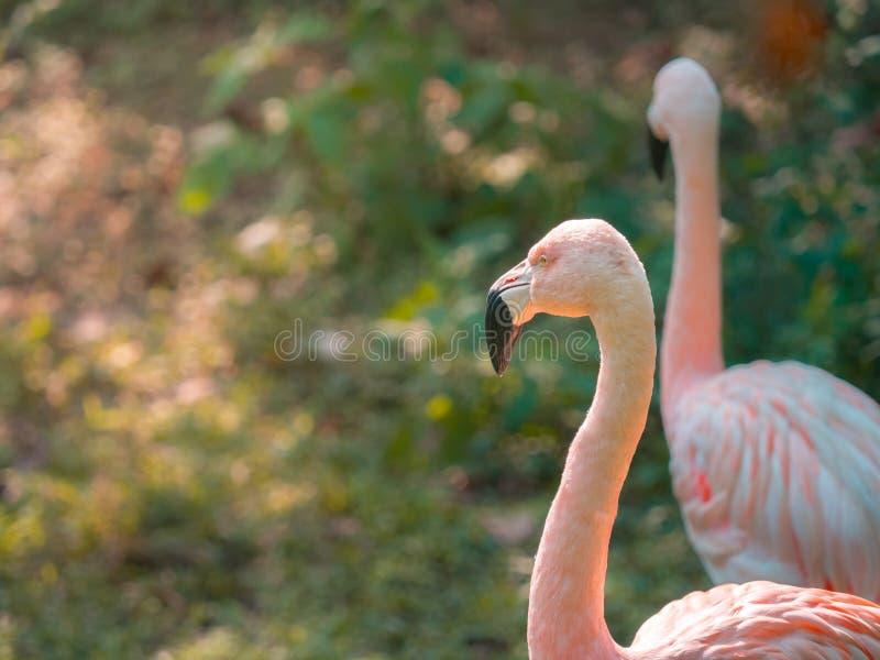 Adult Greater Flamingo (Phoenicopterus roseus) face in the zoo. Closeup adult Greater Flamingo (Phoenicopterus roseus) face in the zoo royalty free stock photos