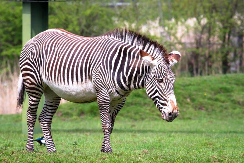 Grevy`s zebra Equus grevyi in a grassy field royalty free stock photos