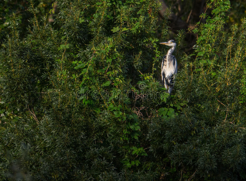 Adult Grey Heron in the forest stock photography