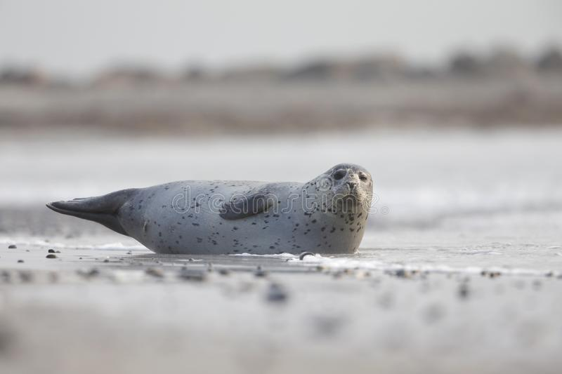 An adult grey seal Halichoerus grypus laying on the beach of Heligoland- Large grey seal Laying partly in the water. royalty free stock photography