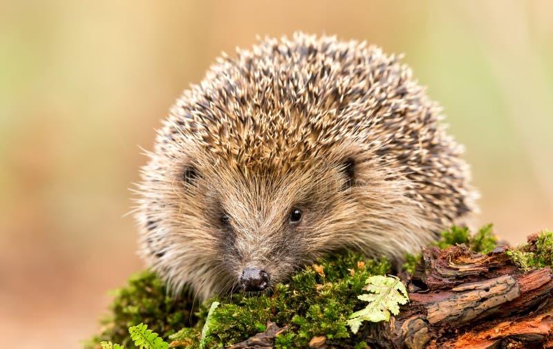 Adult hedgehog facing forwards on green moss and a log. Hedgehog, Native, wild, adult European hedgehog facing forwards on green moss and a log. Blurred light stock images