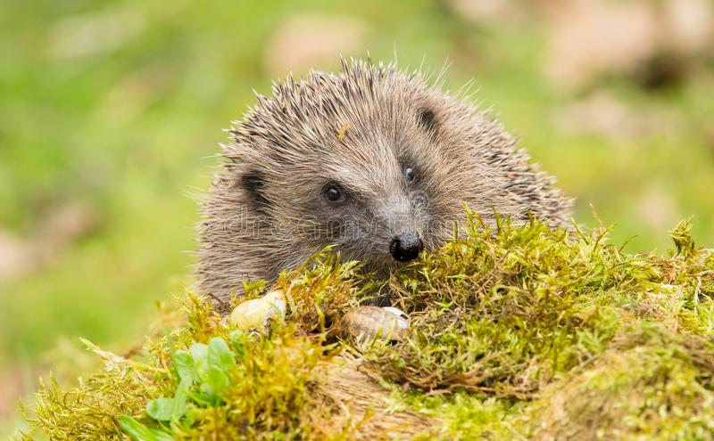 Adult hedgehog facing forwards on green moss and a log. Hedgehog, Native, wild, adult European hedgehog facing forwards on green moss and a log. Blurred light royalty free stock photo