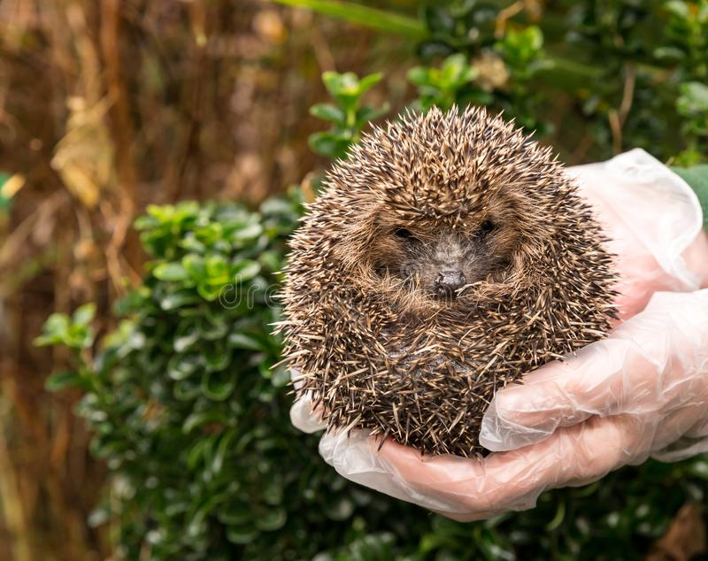 Adult Hedgehog in a hedgehog and rehabilitation hospital. Curled into a ball. Facing forwards. Hedgehog, Native, wild, adult European hedgehog being held by a royalty free stock image