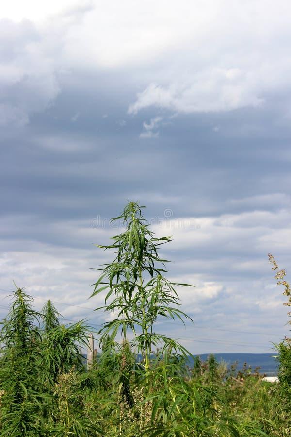 Adult hemp cannabis plant outdoors royalty free stock image