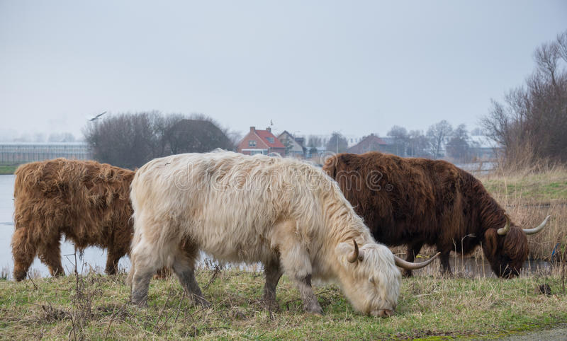 Adult Highland cattle.Three multicolored horned Highland Cattle grazing on the grass near the pond. White And Brown Cattle. Close stock image