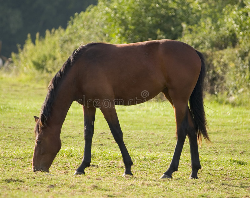 Download Adult Horse stock photo. Image of stable, natural, animal - 205932