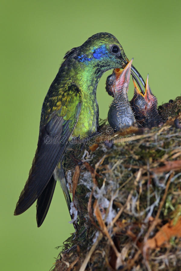Adult hummingbird feeding two chicks in the nest, Green Violet-ear, Colibri thalassinus, Savegre, Costa Rica royalty free stock photo