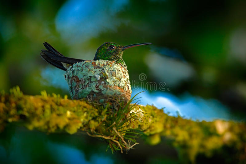 Adult hummingbird sitting on the eggs in the nest, Trinidad and Tobago. Copper-rumped Hummingbird, Amazilia tobaci, on the tree. Wildlife scene from tropic royalty free stock images