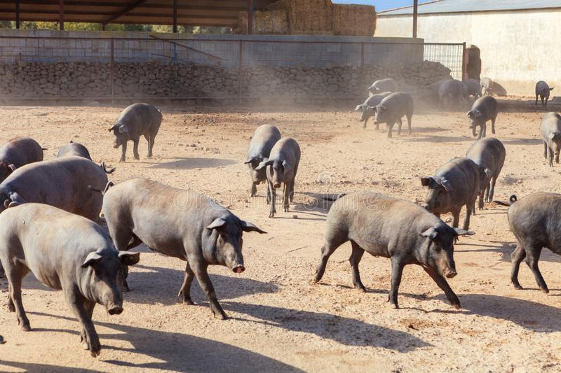 Iberian pigs royalty free stock images