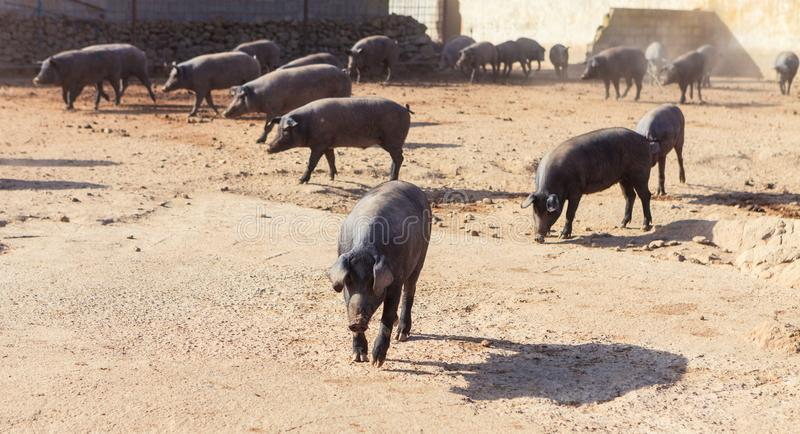 Iberian pigs stock photos