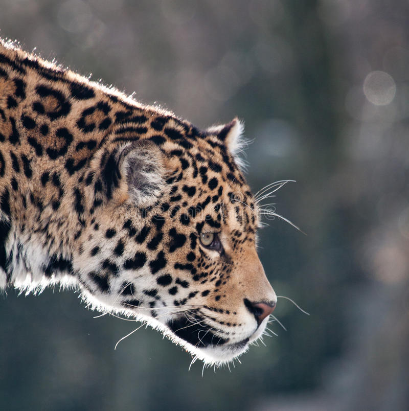 Download Adult jaguar stock image. Image of roar, wildlife, adult - 17913483