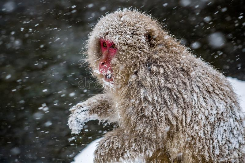 Adult Japanese Macaque in the snow. A snowcovered adult Japanese Macaque, or snow monkey, sits on the side of a hot spring in a heavy snowstorm. These monkeys stock images