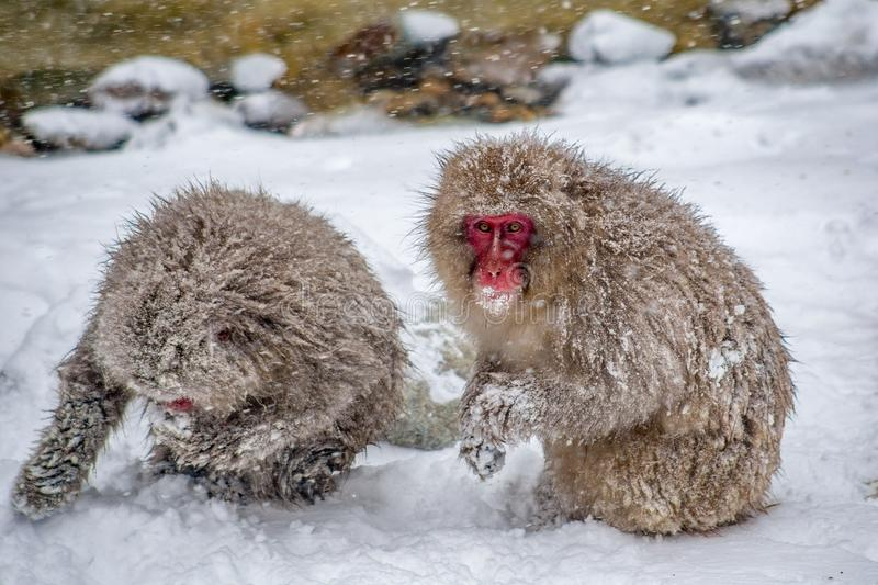 Cold Snow monkeys being fed by park officials. Adult Japanese Macaques eat grain spread by Japanese wardens to help them survive the harsh mountain winter. These royalty free stock photography
