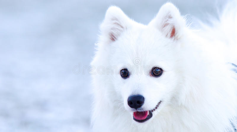Adult japanese spitz. Posing for a portrait royalty free stock photography