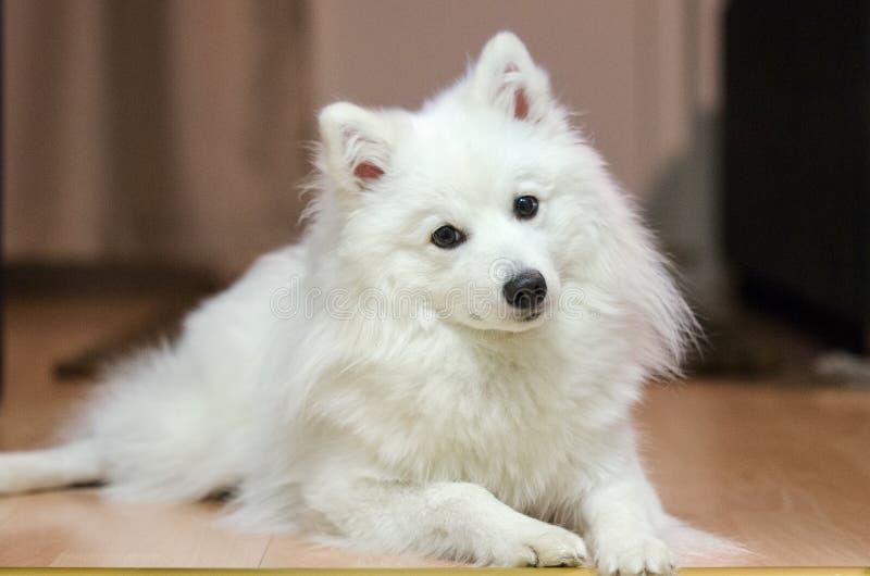 Simple Spitz Canine Adorable Dog - adult-japanese-spitz-posing-portrait-94309347  Photograph_136140  .jpg