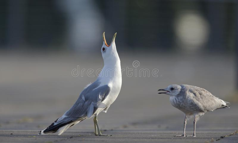 An adult and juvenile Common gull stock image