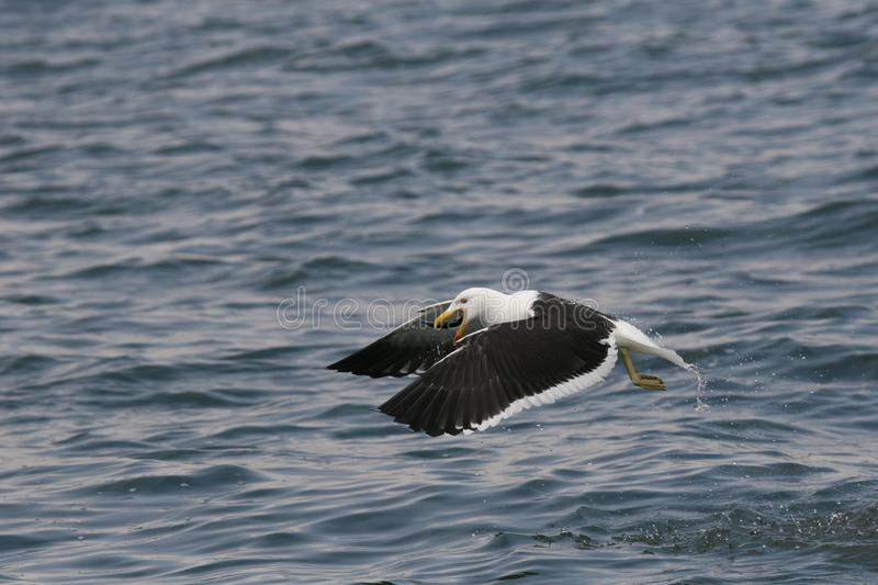 Adult Kelp gulls flying over the ocean stock photography