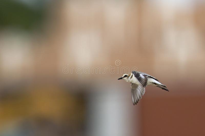 An adult Kentish plover Charadrius alexandrinus flying in highspeed on the island of Cape verde. Behind the bird a colourful background of a city stock photography