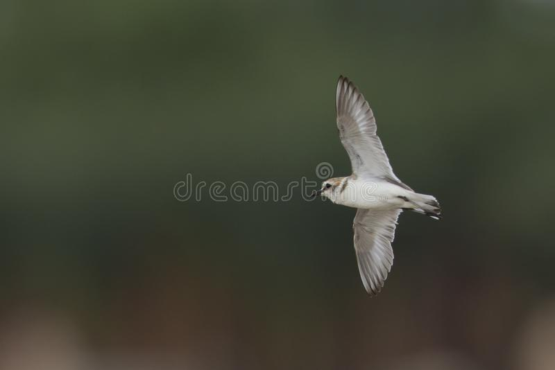 An adult Kentish plover Charadrius alexandrinus flying in highspeed on the island of Cape verde. Behind the bird a colourful background of a city stock image