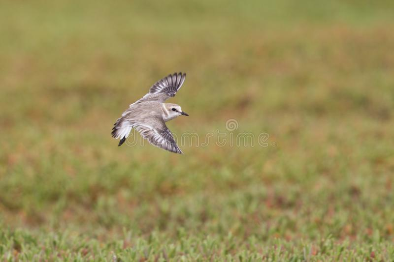 An adult Kentish plover Charadrius alexandrinus flying in highspeed on the island of Cape verde. Behind the bird a colourful background green plants stock images