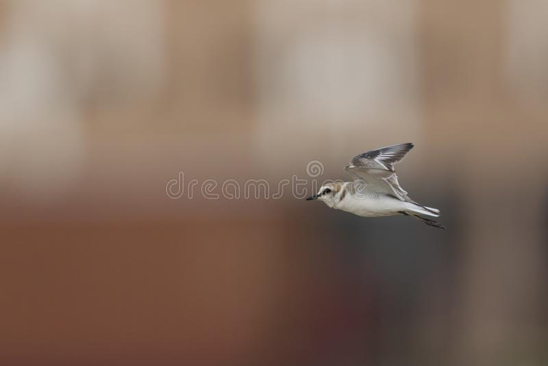An adult Kentish plover Charadrius alexandrinus flying in highspeed on the island of Cape verde. Behind the bird a colourful background of a city royalty free stock image