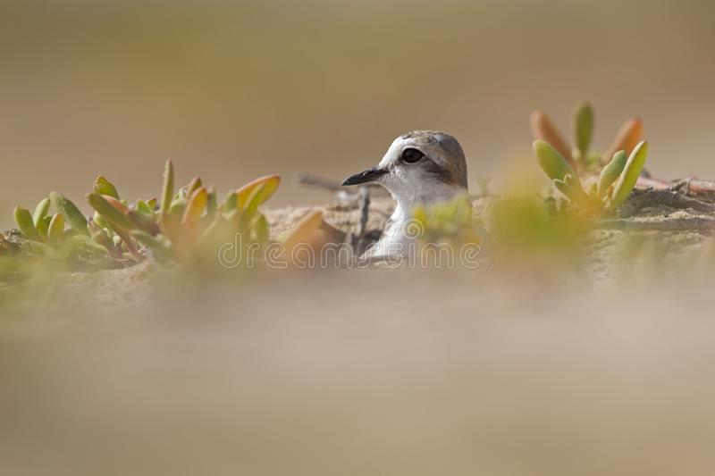 An adult Kentish plover Charadrius alexandrinus nesting in the desert on the island of Cape verde stock photography