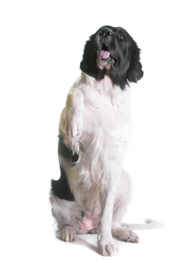 Adult landseer dog royalty free stock photo