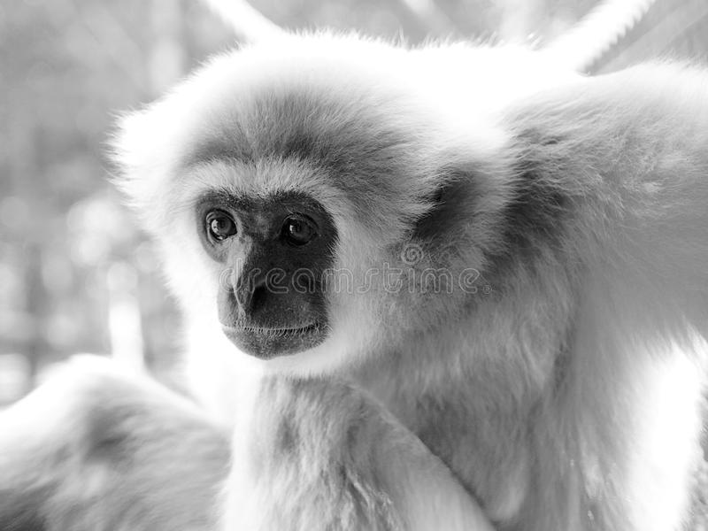 An adult lar gibbon is sitting and looking attentively. An adult male lar gibbon ape, Hylobates lar, is sitting with his knees up and looking very steadily. A stock photos